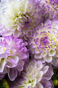 Pinks Posters - Dahlia bouquet  Poster by Garry Gay