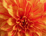 Plant Greeting Cards Prints - Dahlia  Print by Brian Chase