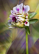 Barbara Smith Metal Prints - Dahlia Bud III Metal Print by Barbara Smith