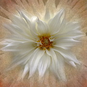 Dinner-plate Dahlia Prints - Dahlia Burst Print by Angie Vogel
