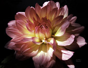 Julie Palencia Prints - Dahlia Burst of Pink and Yellow Print by Julie Palencia