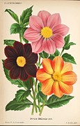 Medical Drawings - Dahlia Coccinea from a Begian book of flora. by Unknown
