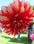 Most Viewed Framed Prints - Dahlia Dahling Framed Print by Anne Sterling