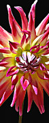 Diane E Berry - Dahlia Delight Center...