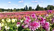 Photograph Of Dahlia Prints - Dahlia Field Print by Susan Garren