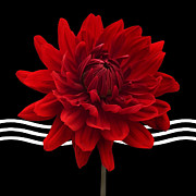 Nature Study Posters - Dahlia Flower and Wavy Lines Triptych Canvas 2 - Red Poster by Natalie Kinnear