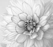 Kim Hojnacki - Dahlia Flower Black and White