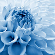 Blue Flowers Posters - Dahlia Flower Blue Poster by Jennie Marie Schell