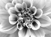 Silver And Black Framed Prints - Dahlia Flower Macro Monochrome Framed Print by Jennie Marie Schell