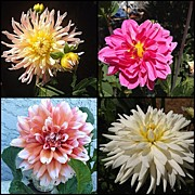 Jim Neeley - #dahlia #flowers #fa...