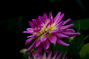 Conservatory Of Flowers Photos - Dahlia by Glenn Franco Simmons