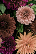 Green Burgandy Posters - Dahlia Heaven Poster by Trish Tritz