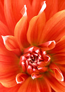 Flower Blooms Digital Art Prints - Dahlia II - Orange Print by Natalie Kinnear