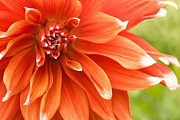 Flower Photos Digital Art Posters - Dahlia III - Orange Poster by Natalie Kinnear