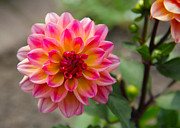 James Hammen - Dahlia in Full Bloom