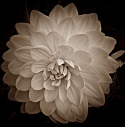 Neurotic Images Photography Prints - Dahlia in Sepia Print by Chalet Roome-Rigdon