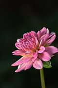 Joy Watson Framed Prints - Dahlia in the Spotlight Framed Print by Joy Watson