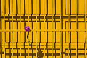 Yellow Line Prints - Dahlia in yellow gate Print by Garry Gay