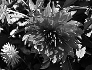 Black And White Photography Painting Metal Prints - Dahlia Metal Print by Kirt Tisdale