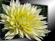 Photograph Of Dahlia Prints - Dahlia named Canary Fubuki Print by J McCombie