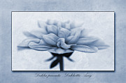John Edwards - Dahlia pinnata Cyanotype