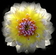 Florida Florals Photos - Dahlia Silhouette by Karen Wiles