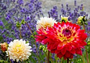 Chris Anderson Prints - Dahlias Among the Lavender Print by Chris Anderson