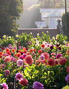 Conservatory Of Flowers Photos - Dahlias at Golden Gate Park by Armand Cabrera