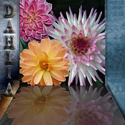 Fragrance Mixed Media Prints - Dahlias - Floral - Flowers Print by Liane Wright