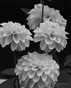 Flower Express Photos - Dahlias in Black and White by Jeanette C Landstrom