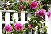 Picket Fences Posters - Dahlias over the Fence Poster by Carol Groenen