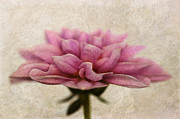 Flower Blooms Digital Art Prints - Dahlietta Amy textured Print by John Edwards