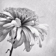 Blume Prints - Dainty Daisy Print by Priska Wettstein