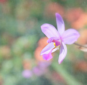 Flower Design Photos - Dainty Orchid by Kim Hojnacki