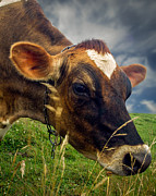Milk Cow Posters - Dairy Cow Eating Grass Poster by Bob Orsillo