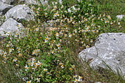 Michele Kaiser - Daisies and Rocks