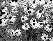 Mikki Cucuzzo - Daisies in black and...
