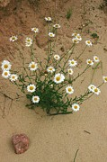 Daisies In The Sand Print by Randy Pollard