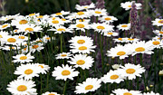 Quebec Places Prints - Daisies Print by John Rizzuto