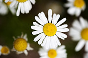 Botany Metal Prints - Daisies Metal Print by Juli Scalzi