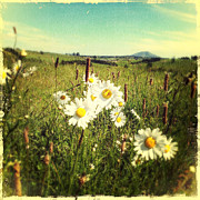 Flowers Field Prints - Daisies Print by Les Cunliffe
