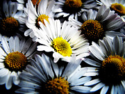 Daisy Metal Prints - Daisies Metal Print by Mark Rogan