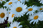 Spencer Meagher Art - Daisies Of Mackinac by Spencer Meagher