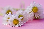 Daisies On Pink Print by Jan Bickerton