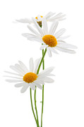 Cheerful Posters - Daisies on white background Poster by Elena Elisseeva