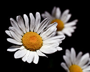 Natural White For Decorating Prints - Daisies Print by Rona Black
