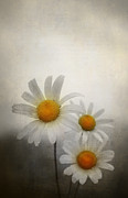 Centre Digital Art Prints - Daisies Print by Svetlana Sewell