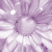 Close Up Floral Prints - Daisy - Purple Print by Scott Norris