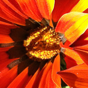 Focal Color Art Photos - Daisy 4-1 by Ann Pelaez