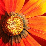 Focal Color Art Prints - Daisy 4-2 Print by Ann Pelaez